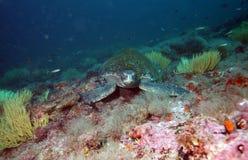Overzeese schildpad in de Galapagos Stock Foto's
