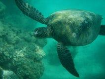 Overzeese schildpad die in paradijs zwemt Royalty-vrije Stock Afbeeldingen