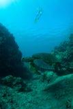 Overzeese schildpad en snorkeler Stock Afbeelding