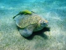 Overzeese schildpad en suckerfishes stock afbeelding