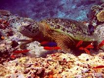 Overzeese Schildpad en vissen Royalty-vrije Stock Afbeelding