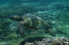 Overzeese Schildpad Onderwater stock afbeelding