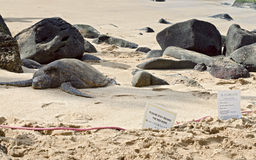Overzeese schildpad op beschermend gebied stock afbeelding