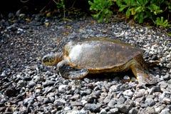 Overzeese schildpad op een rotsachtig strand Royalty-vrije Stock Afbeeldingen
