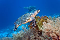 Overzeese schildpad op het koraalrif Stock Afbeeldingen