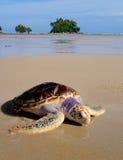 Overzeese schildpad op het strand dichtbij het overzees met vrij klein eiland Royalty-vrije Stock Foto's