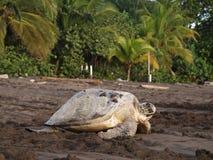 Overzeese schildpad in Tortuguero Nationaal Park, Costa Rica Royalty-vrije Stock Fotografie