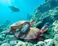 Overzeese schildpadden Maui Hawaï Stock Foto's