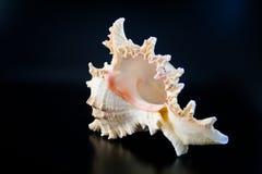 Overzeese shell 2 Stock Fotografie