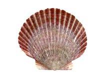 Overzeese shell Royalty-vrije Stock Foto