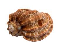 Overzeese shell die op wit wordt geïsoleerdg Stock Foto