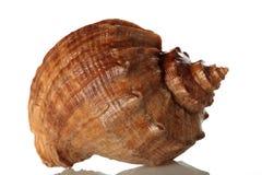 Overzeese shell die op wit wordt geïsoleerdi Royalty-vrije Stock Foto