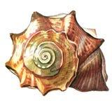 Overzeese shell geschilderde waterverf Illustraties van overzeese shells op w Stock Afbeelding