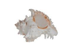 Overzeese shell isoleert Stock Foto