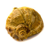 Overzeese shell isolsted op witte achtergrond Stock Foto