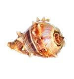 Overzeese shell macro Royalty-vrije Stock Foto's