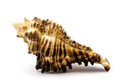 Overzeese shell op de witte achtergrond Stock Afbeeldingen