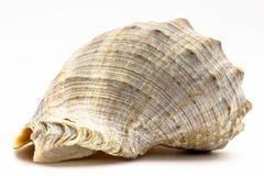 Overzeese shell op de witte achtergrond Stock Afbeelding