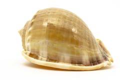 Overzeese shell op de witte achtergrond Stock Fotografie