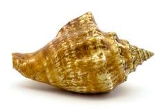 Overzeese shell op de witte achtergrond Royalty-vrije Stock Foto