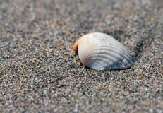 Overzeese shell op een bruin zandig strand stock foto's
