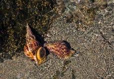 Overzeese shell op een zandig overzees strand Stock Foto's