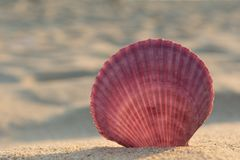 Overzeese shell op een zandig strand stock afbeelding