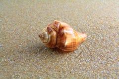 Overzeese shell op het zand Royalty-vrije Stock Afbeeldingen
