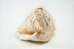 Overzeese shell Overzeese shell die op wit wordt geïsoleerda Royalty-vrije Stock Afbeelding