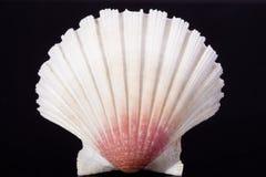 Overzeese shell van bivalvia op zwarte macro als achtergrond Stock Foto