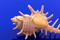 Overzeese shell van overzeese slak op blauwe achtergrond, bezinning Stock Foto's