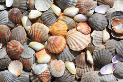 Overzeese shells achtergrond Stock Foto