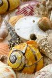Overzeese Shells, de dollar van het Zand op het strand Stock Fotografie