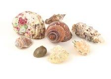 Overzeese shells die op wit wordt geïsoleerdi Stock Afbeelding
