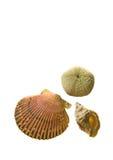 Overzeese shells die op witte achtergrond wordt geïsoleerdg Royalty-vrije Stock Afbeelding