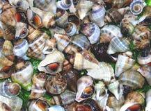 Overzeese shells Kuststrand Royalty-vrije Stock Afbeeldingen