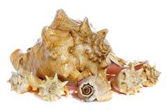 Overzeese shells macro Stock Afbeeldingen