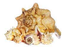 Overzeese shells macro Stock Foto