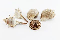 Overzeese shells op wit geïsoleerde achtergrond Royalty-vrije Stock Afbeelding