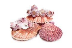 Overzeese Shells op witte achtergrond Royalty-vrije Stock Foto's
