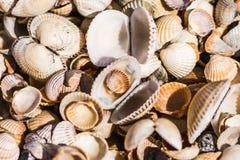 Overzeese shells van verschillende vormen Stock Foto
