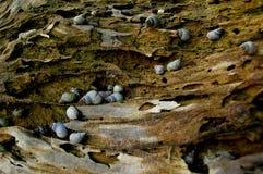 Overzeese Slakken op een Boomboomstam close_up stock fotografie
