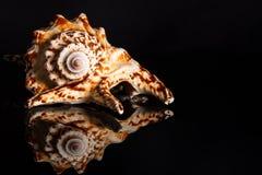 Overzeese spiraalvormige slakshell Stock Afbeeldingen
