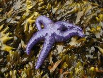Overzeese ster op zeewier Stock Fotografie