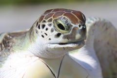 Overzeese van de baby schildpad die uit het waterwater wordt genomen Royalty-vrije Stock Fotografie