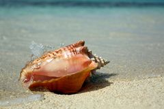 Overzeese van de koninginkroonslak Caraïbische shell Stock Afbeeldingen