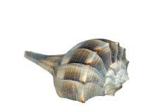 Overzeese van de kroonslak shell Royalty-vrije Stock Fotografie