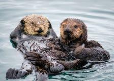 Overzeese van de Morrobaai Otters, Californië Stock Fotografie