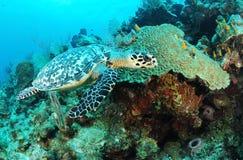 Overzeese van Hawksbill schildpad   Royalty-vrije Stock Afbeelding