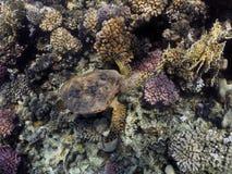 Overzeese van Hawksbill schildpad Royalty-vrije Stock Foto's